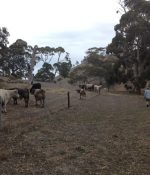 Cattle watching Rob in Hidden Valley