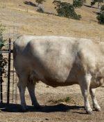 700kg cow testing v7.1