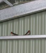 Pair of welcome swallows