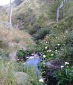 Before removing Arum Lily from river