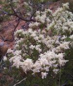 Australia Christmas bush