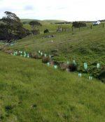 Early plantings of sedges in creek bed