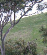 3 Kookaburras sitting in a tree