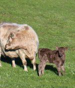 Day old Heifer