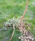 Tree damaged by deer