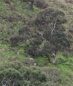 Distant picture of 8 feral deer