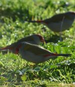 3 Red browed finches