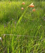 Flower Cape Tulip